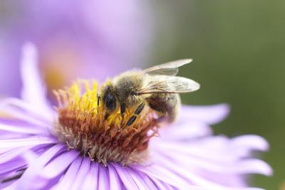 Biene auf Blüte bei der Nektarsammlung