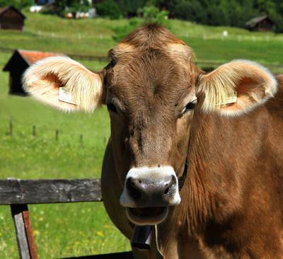 Kuh im Porträt