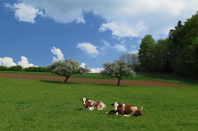 Landwirtschaft mit Kühen